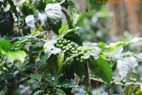Coffee Plantation - Situ Lembang 4