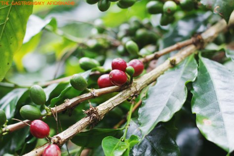 Coffee Plantation - Situ Lembang 1