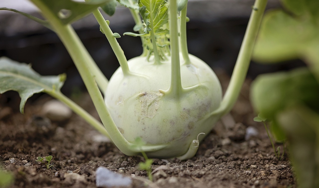 Image result for kohlrabi